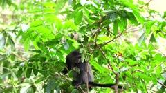 a female blue monkey in tree at lake manyara national park in tanzania