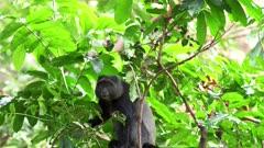 a blue monkey looks at camera at lake manyara national park in tanzania