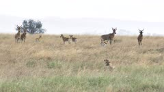 a 4K 60p clip of a cheetah pair stalking hartebeest and gazelle at serengeti national park in tanzania