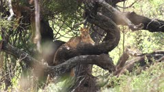 one of the famous tree climbing lions in a tree at lake manyara national park in tanzania