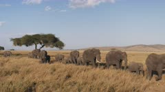 an elephant herd in single file approaching at serengeti national park in tanzania