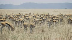 a 4K 60p medium angle clip of a gazelle herd wagging their tails at serengeti national park in tanzania