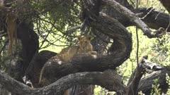 a famous tree climbing lion facing camera at lake manyara national park in tanzania on a hot day