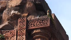 4K 60p zoom in shot of an indian ringneck parrot on qutub minar ruins in delhi, india