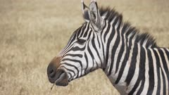 close up of a zebra chewing grass at ngorongoro crater in tanzania