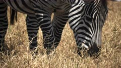 close up of a zebra grazing at ngorongoro crater in tanzania, africa