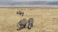 a wide angle shot of a zebra herd at ngorongoro crater in tanzania