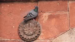 4K 60p shot of a pigeon perching on a wall of bara gumbad at lodhi gardens in new delhi, india