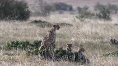 a cheetah mother and cubs turn and face the camera at masai mara national reserve in kenya, africa