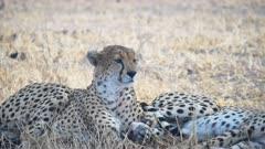 a 4K 60p shot of a sleepy cheetah in shade at tarangire national park in tanzania