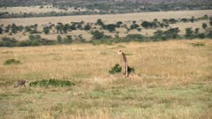 long shot of a cheetah on the lookout for prey at masai mara national reserve in kenya, africa