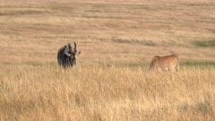 an eland antelope bull and cow grazing at masai mara national reserve in kenya, africa