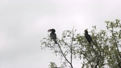 a pair crowned hornbill birds in a tree at lake manyara national park in tanzania- 4K 60p