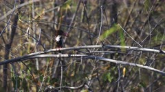 white throated kingfisher looking over its shoulder at tadoba andhari tiger reserve in India