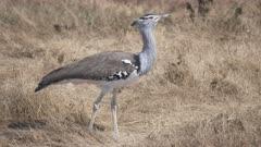 a 4K 60p medium angle shot of a kori bustard bird at ngorongoro crater in tanzania