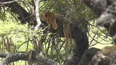 a lion resting in a tree looks up at lake manyara national park in tanzania