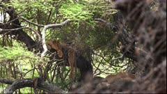 wide shot of african lions sleeping in a tree at lake manyara national park in tanzania