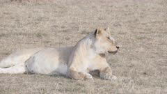 a 4K 60p close shot of a lioness resting on the ground at masai mara national reserve in kenya, africa