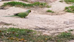 a rose-ringed parakeet feeding on the ground at lodhi gardens in delhi, india- 4K 60p