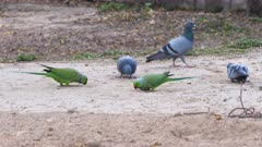 a 4K 60p shot of rose-ringed parakeets and pigeons feeding at lodhi garden in new delhi, india