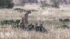 two cheetah cubs look at camera in masai mara national reserve in kenya, africa
