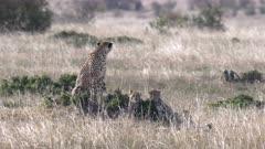 a resting cheetah cub looks up at masai mara national reserve in kenya, africa