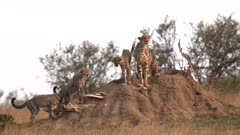 cheetah cubs climb onto a termite mound to join mum at masai mara national reserve in kenya, africa