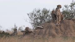 cheetah family watching for prey to hunt at masai mara national reserve in kenya, africa- 4K 60p