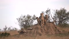 a cheetah mum and cubs use a termite mound as a lookout post in masai mara national reserve in kenya, africa