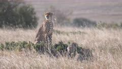a cheetah mum lays down beside her three cubs at masai mara national reserve in kenya, africa- 4K 60p
