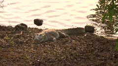 zoom in on a marsh crocodile on the shore of lake tadoba  at tadoba andhari tiger reserve in india