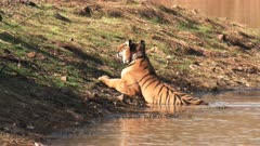 a male bengal tiger stands up and walks away from a waterhole at tadoba andhari tiger reserve in India