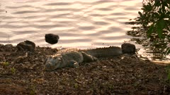 a sunset shot of a marsh crocodile on the shore of lake tadoba at tadoba andhari tiger reserve in india