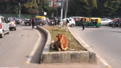 a 4K 60p clip of cows and traffic on a street of new delhi, india