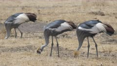slow motion clip of a grey crowned crane flock feeding at ngorongoro crater in tanzania