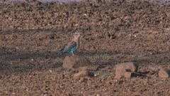 indian roller bird at a waterhole in tadoba andhari tiger reserve in india
