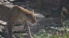 tracking shot of a leopard walking along a creek bed in masai mara national reserve in kenya, africa