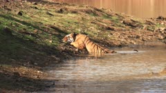 a male tiger cools off in a waterhole at tadoba andhari tiger reserve in india