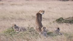 a rear view of a mother cheetah with three cubs at masai mara national reserve in kenya, africa- 4K 60p