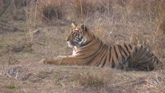 a medium shot of a tiger cub laying down at tadoba andhari tiger reserve in india