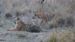 a 4K 60p clip of two tiger cubs hunting together at tadoba andhari tiger reserve in india