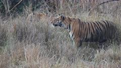 close up of a young tiger stalking prey at tadoba andhari tiger reserve in india- 4K 60p