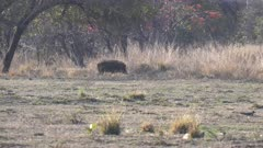 a tracking shot of wild boar near a waterhole at tadoba andhari tiger reserve in india