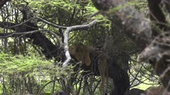 a young lion rest during the heat of the day in a tree at lake manyara, tanzania