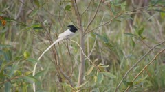 an asian paradise flycatcher bird perched on a bush at tadoba andhari tiger reserve in india-  4K 60p