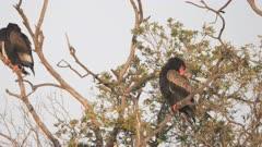 a bateleur eagle preening its feathers at masai mara national reserve in kenya- 4K 60p