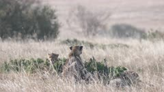 a cheetah cub looks at the camera while resting with its family in masai mara national reserve in kenya, africa- 4K 60p