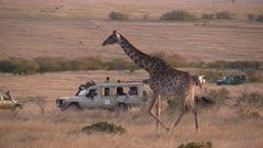 tracking shot of a giraffe walking past safari 4 wheel drive vehicles at masai mara national reserve in kenya- 4K 60p