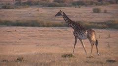 sunset tracking shot at giraffe walking in masai mara national reserve in kenya, africa-  4K 60p