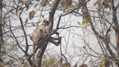 gray langur monkey sitting in a tree at tadoba andhari tiger reserve in india- 4K 60p
